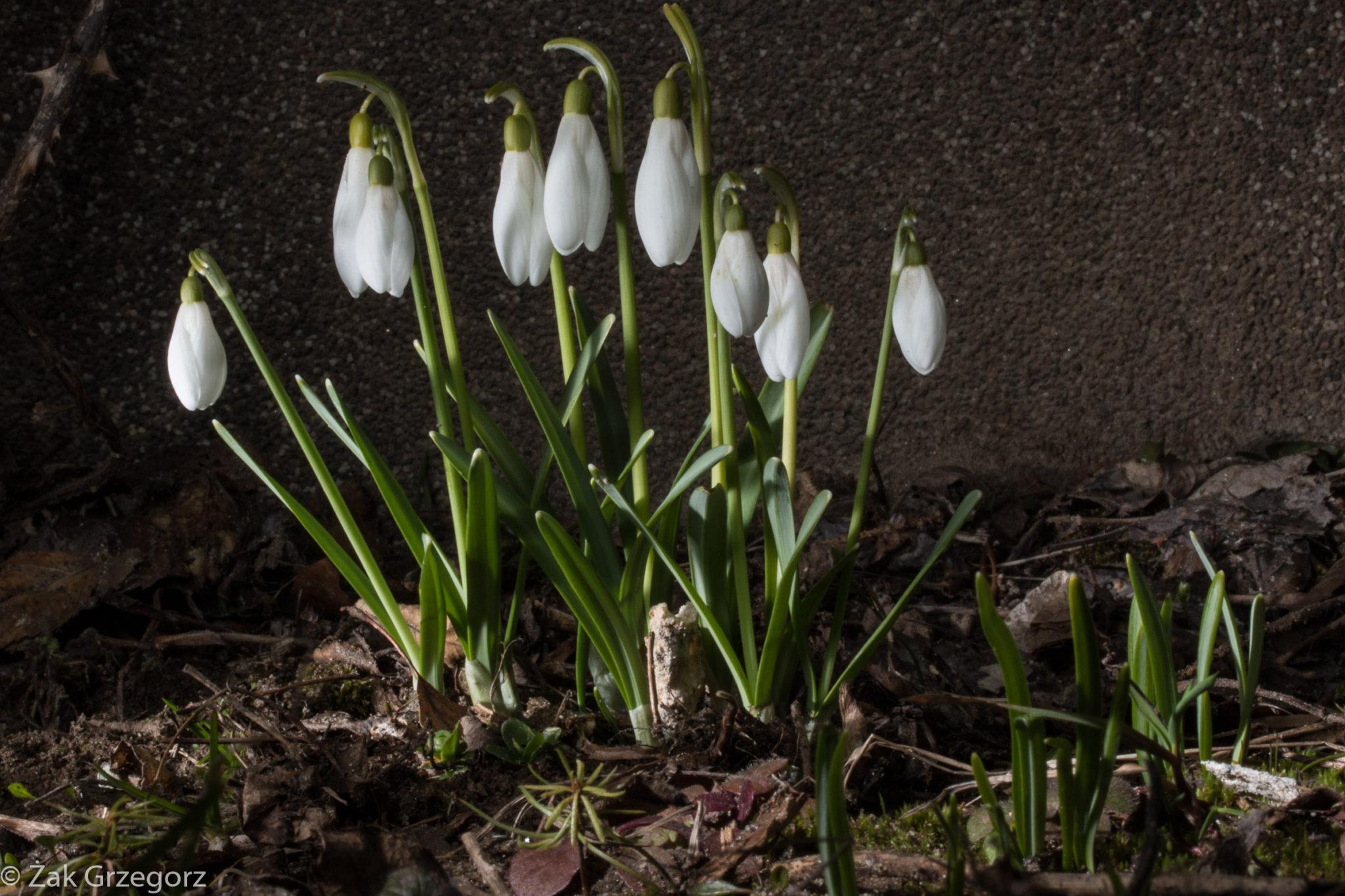 Przebiśniegi czyli zwiastuny wiosny