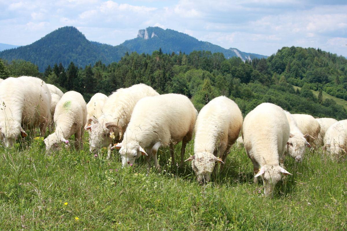 Owieczki na Podhalu