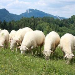 Owieczki naPodhalu