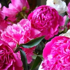 Peonie czyli kwiaty pełni lata